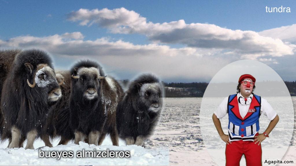 Hábitat de los animales terrestres - tundra, bueyes almizcleros
